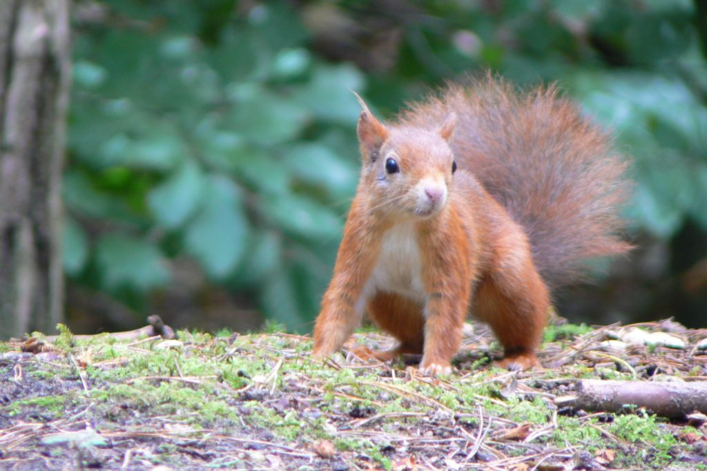 Red squirrel | Formby Parish Council